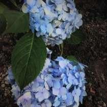 Гортензия голубая, в Ярославле