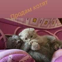 Британские котята, в г.Харьков