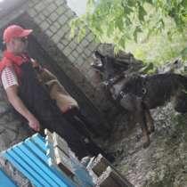 Щенки немецкой овчарки рабочего разведения, в Екатеринбурге