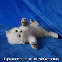 Британские котята с родословной, в г.Берлин