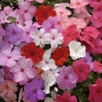 Бальзамины разные. Цветы комнатные и садовые, в Челябинске