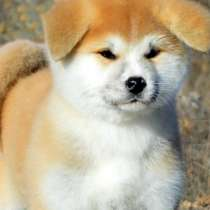 The most beautiful and loyal Akita Inu dogs are ready for bo, в г.Дубай