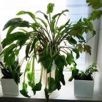 Растение Дримиопсис, в Санкт-Петербурге