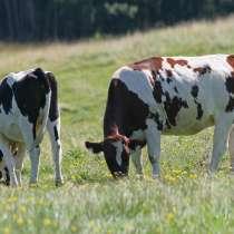 Коровы бычки телята Томск, в Томске