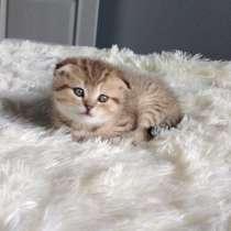 Шотланские котята, в г.Гродно
