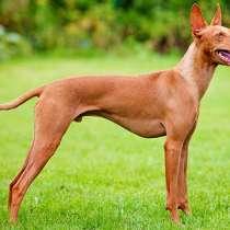 Фараонова собака, в г.Витебск