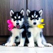 Красивые черно-белые щеночки хаски, в Тольятти