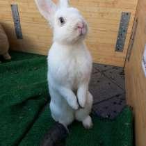 Продам морских свинок, кроликов декоративных, в Краснодаре