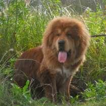 Тибетский мастиф. щенки, в Екатеринбурге