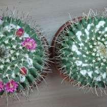 Продаю семена кактуса маммиллярия магнимамма, в Самаре