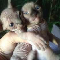 Продаются котята. Канадский сфинкс, в г.Рубежное