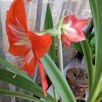 Продам комнатное растение Амариллис, в г.Уральск