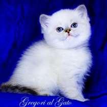 Роскошные британские голубоглазые котята шиншиллы, в Москве