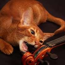 Абиссинский котенок соррель, в г.Гомель