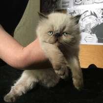 Экзотическая кошка (экзот-экстримал). Редкий окрас, в г.Тирасполь