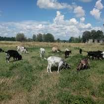 Продаются молодые кози. Цена договорная, в г.Коростень