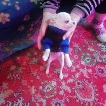 Продаю чихуа мини девочка, в Ростове