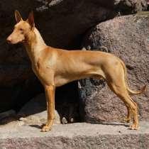 Фараонова собака - щенки, в г.Таллин