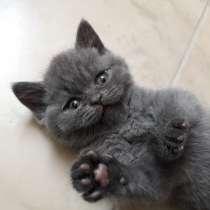 Британские котята, в г.Кобрин