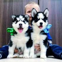 Красивые собачки хаски, в Палласовке