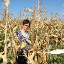 Кукуруза семена Глория, в Гулькевичах