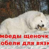 Самоеды щенки + женихи для вязки, в Иванове