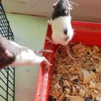 Декоративные крысы, в г.Коростень