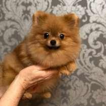 Девочка щенок померанского шпица от Ирлайн-дог, в г.Венеция