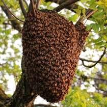 Избавлю от роя пчёл, в Ногинске