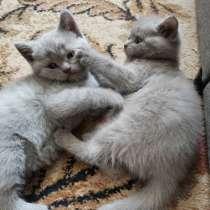 Британские котята, в г.Могилёв