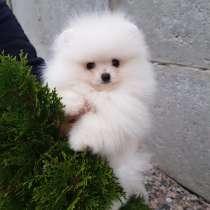 Pomeranian, в г.Париж