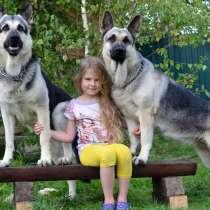 Щенки Восточноевропейской Овчарки, в Сергиевом Посаде