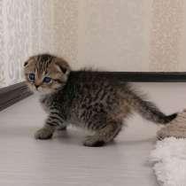 Продаются шотландские котята, в г.Мозырь