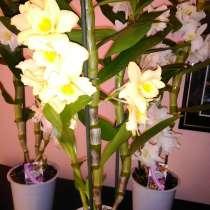 Орхидеи ароматные, в г.Павлодар