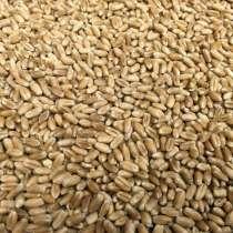 Пшеница 3-кл, в Ростове-на-Дону