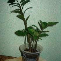 Продам долларовое дерево, в г.Темиртау
