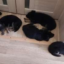 Продають щенки немецкой овчарки, в Сызрани