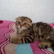 Шотландский котенок девочка, в Новосибирске