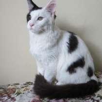Продажа или обмен кота Мейн-кун, в Ангарске