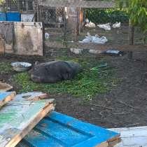 Вьетнамские вислобрюхие молодые свиньи, в Донецке