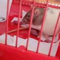 Крысята, в Россоши