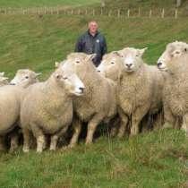 Племенные овцы Ромни-марш (Скот из Европы класса Элита), в г.Ереван