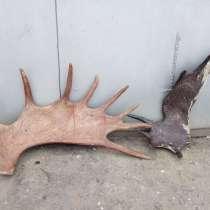 Продаю рога лося, в Омске