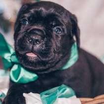 Cane Corso puppies, в г.Libiaz
