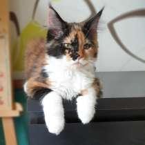 Кошка Мейн кун, в Екатеринбурге