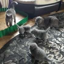 Scottish Fold, schottische Katze, в г.Белосток
