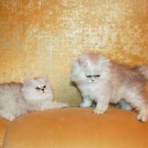 Персидские котята серебристая и золотая шиншилла, в Москве