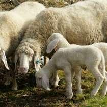 Племенные овцы Белый бергсчаф (Скот из Европы класса Элита), в г.Ереван