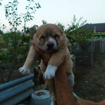 Продается щенок алабая, в г.Кишинёв