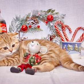 Шотландские котята, в Калуге